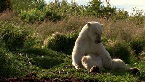 Nied¼wiedzie Polarne / Polar Bears: A Summer Odyssey (2012) PL.720p.BDRip.XviD.AC3-ELiTE + x264 / Lektor PL